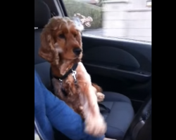 [Video] Cocker Spaniel Loves Car Rides, But Only If His Human Does THIS!