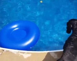 Cocker Spaniel Retrieves Ball From Pool In The Most Creative Way