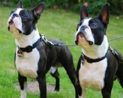 10 Realities New Boston Terrier Owners Must Accept