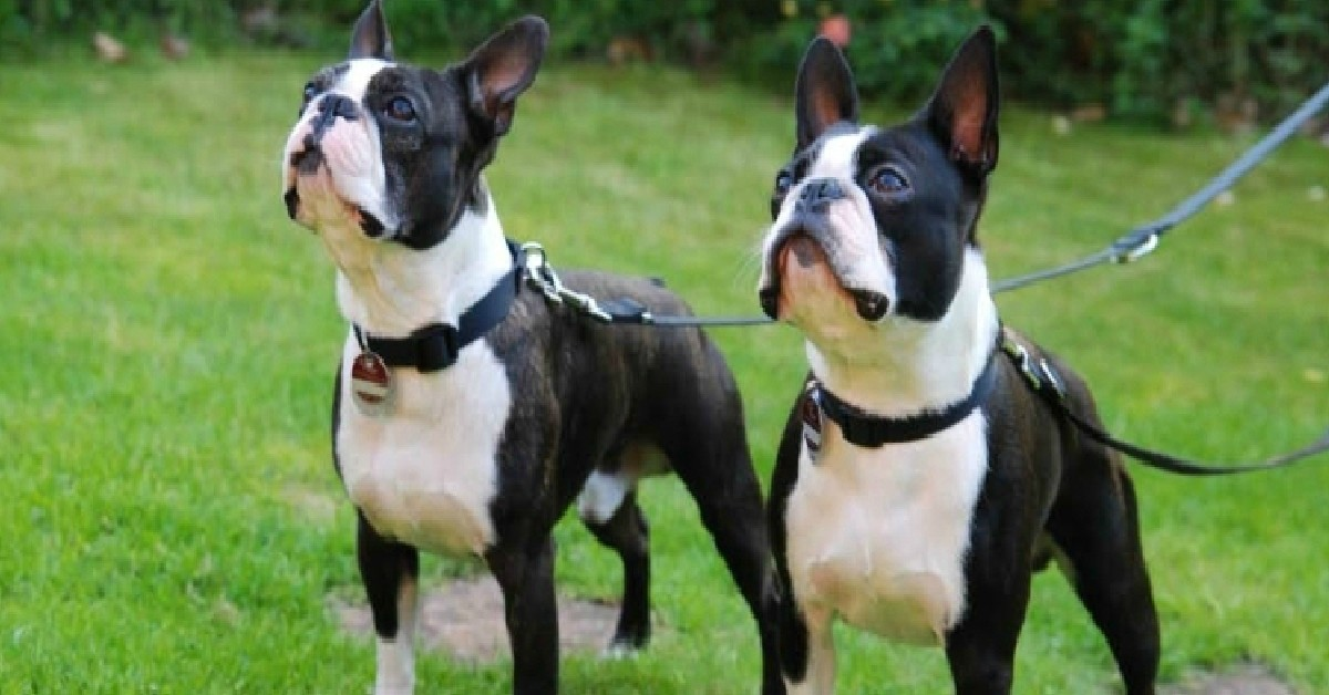15 Signs You're A Crazy Boston Terrier Person… and Damn Proud To Be!