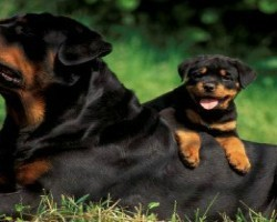15 Signs You're A Crazy Rottweiler Person… and Damn Proud To Be!