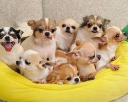 15 Signs You're A Crazy Chihuahua Person… and Damn Proud To Be!