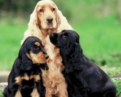12 Reasons Why You Should Never Own Cocker Spaniels