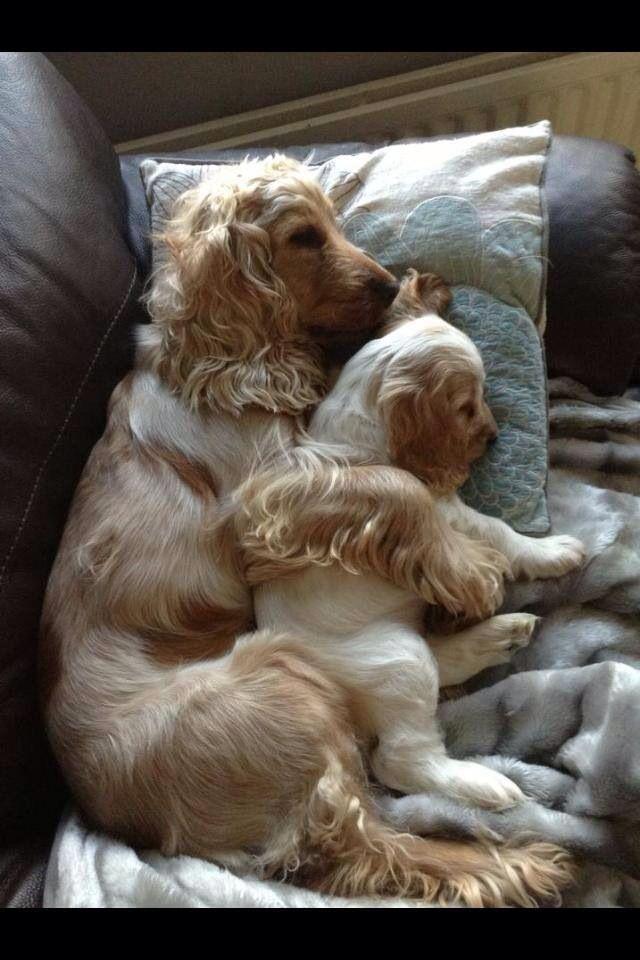 cute dogs cocker spaniels