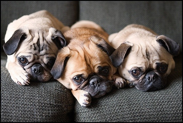 cute pugs image amazing sofa