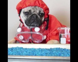 Doug The Pug Is HeisenPug In Breaking Bad (Pug Edition). Can't Stop Laughing!
