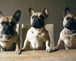 15 Signs You're A Crazy French Bulldog Person… and Damn Proud To Be!
