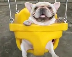 These French Bulldogs In Swings Will Absolutely Melt Your Heart! OMG!