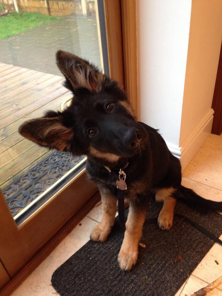 german shepherd 10