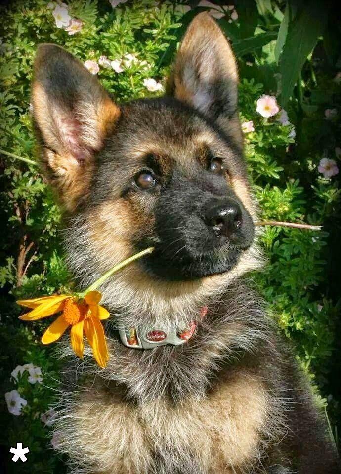 german shepherd 7