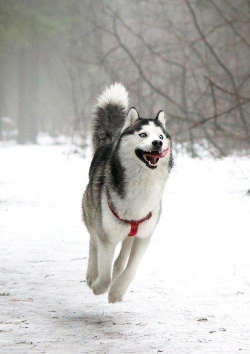 husky 12