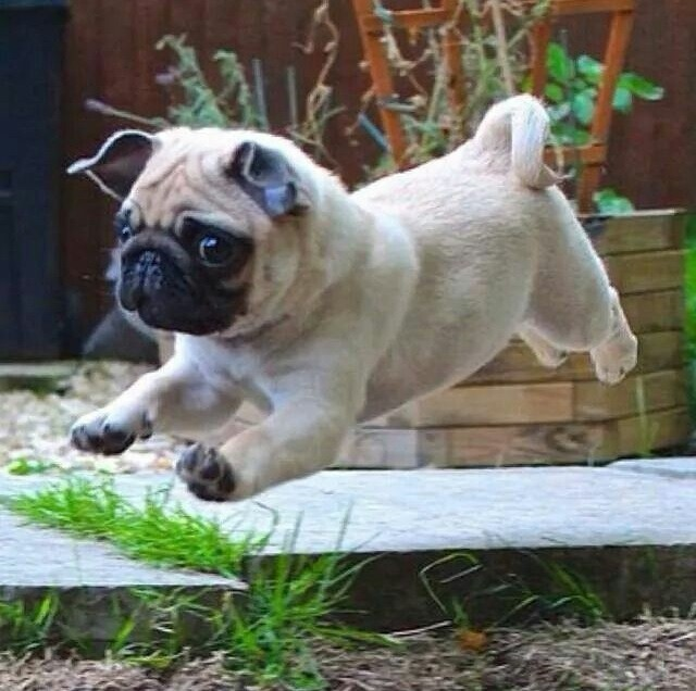 running pug pics cute