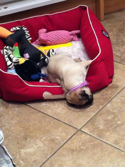 sleeping pug pics toys funny