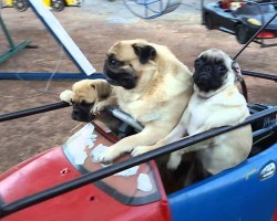 This Pug Family Taking A Spin On The Carousel Will Make Your Day!