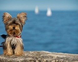15 Signs You're A Crazy Yorkie Person… and Damn Proud To Be!