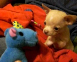 Chihuahua Puppy Finds A Friend! This Will Melt Your Heart!