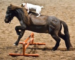 [Video] Jack Russell Climbs Onto Miniature Horse. Then, THIS Happens!