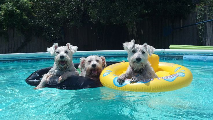 Schnauzer swimming pool