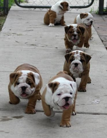 cute english bulldogs
