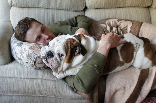 english bulldog cuddle