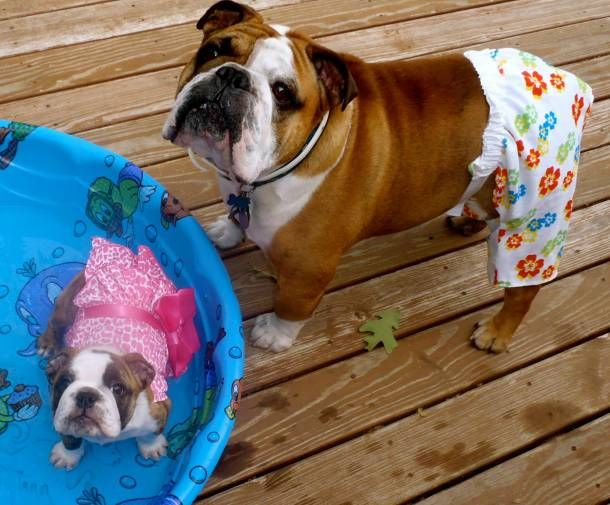 english bulldog dogs