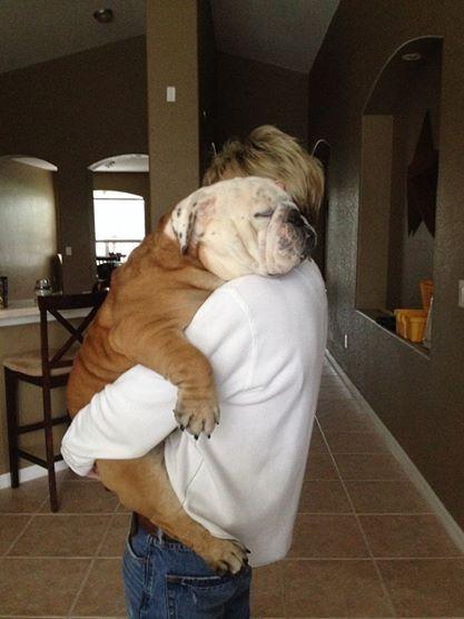 english bulldog hugs