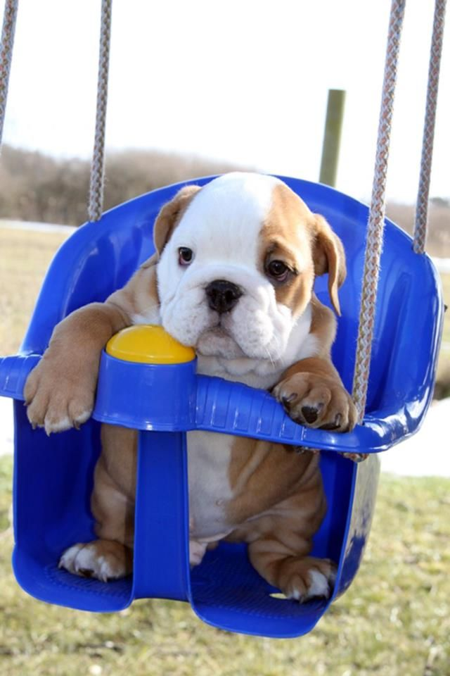 english bulldog swing