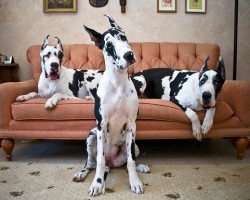 12 Signs You're A Crazy Great Dane Person… and Damn Proud To Be!