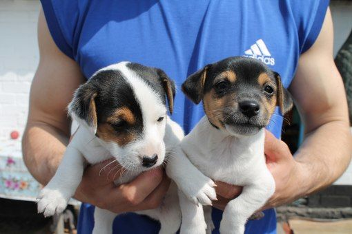 jack russell puppies pics