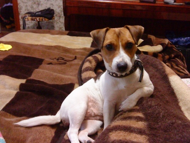 jack russell sofa rest