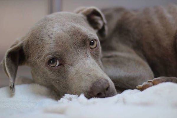 Graycie the pit bull was found abandoned on a dirt road. Starving, hypothermic, and suffering from a vaginal prolapse, Graycie fell into the hands of Dr. Andy Mathis in Elberton, Georgia.
