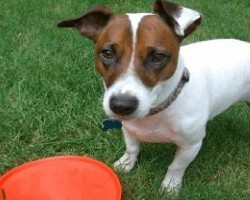 12 Realities New Jack Russell Owners Must Learn To Accept
