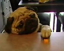 (VIDEO) Sneaky Little Pups Raid the Kitchen! Never Knew Dogs Can Be This Smart!