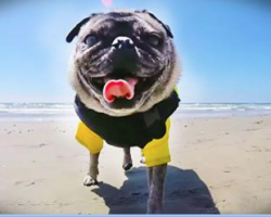 Pug Heads To The Beach For A Fun-Filled Day Of Barrels, Whitewash and Surfing
