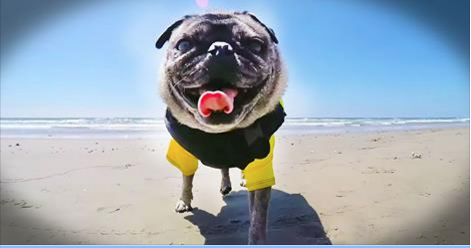Pug Heads To The Beach For A FunFilled Day Of Barrels Whitewash - Brandy the award winning surfing pug