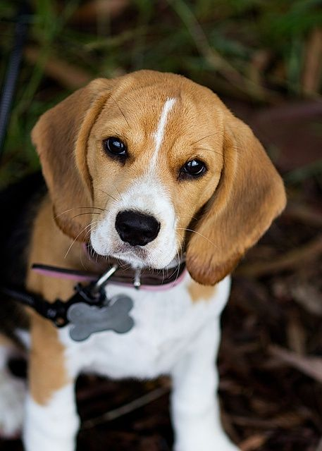 beagle eye