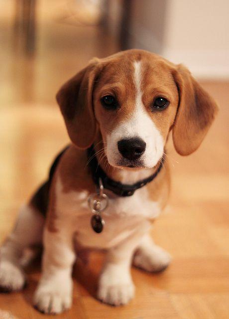 beagle looks