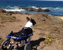 This Handicapped French Bulldog Is An Inspiration To Us All