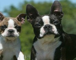 10 Realities New Boston Terrier Owners Must Learn To Accept