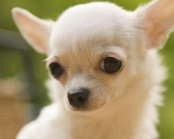 12 Realities New Chihuahua Owners Must Learn To Accept
