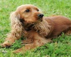 12 Realities New Cocker Spaniel Owners Must Learn To Accept