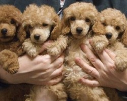 14 Signs You're A Crazy Poodle Person… and Damn Proud To Be!