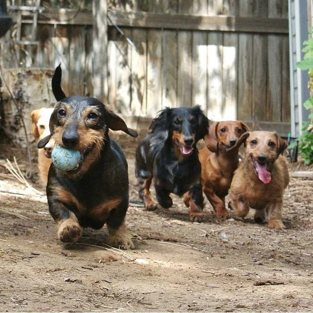 12 realities new dachshund owners must accept