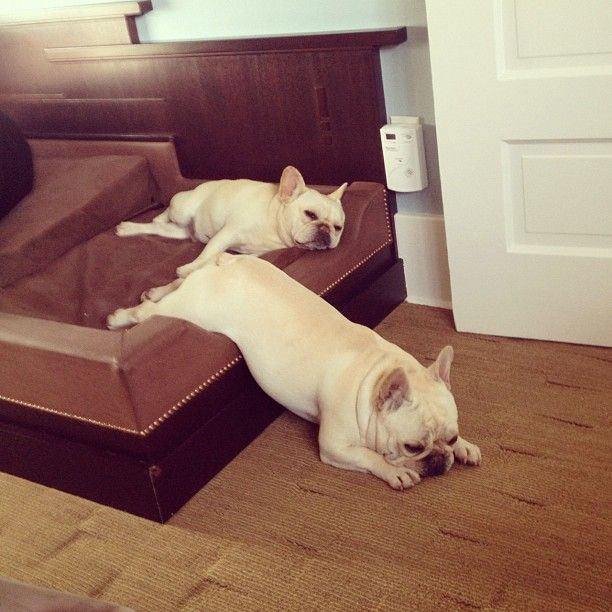 french bulldog lazy