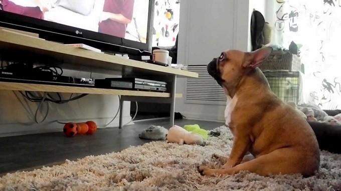 french bulldog tv