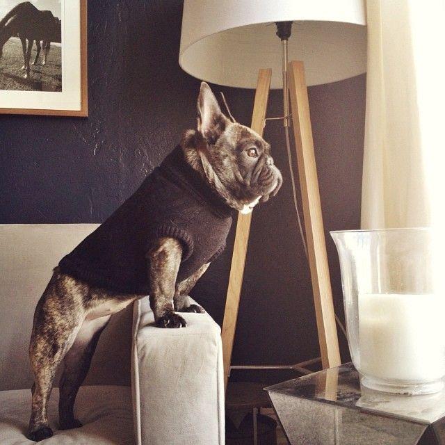 french bulldog waiting