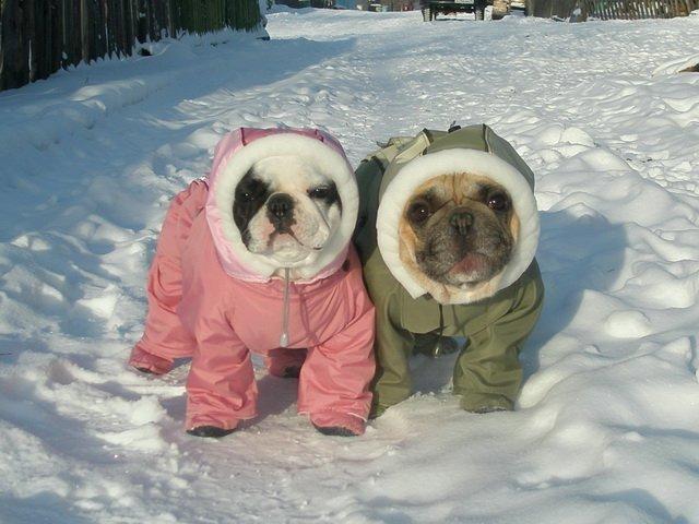french bulldogs winter