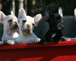 12 Realities New French Bulldog Owners Must Learn To Accept