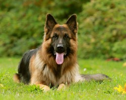 20 Things All German Shepherd Owners Must Never Forget