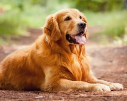 12 Realities New Golden Retriever Owners Must Learn To Accept